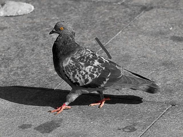 Pigeon qui marche place du Capitole à Toulouse