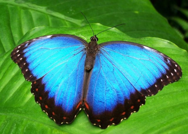 wing-flower-insect-blue-butterfly-fauna