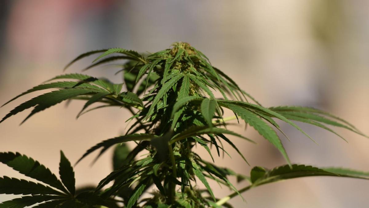 Cannabis : des dommages irréversibles sur le cerveau des adolescents