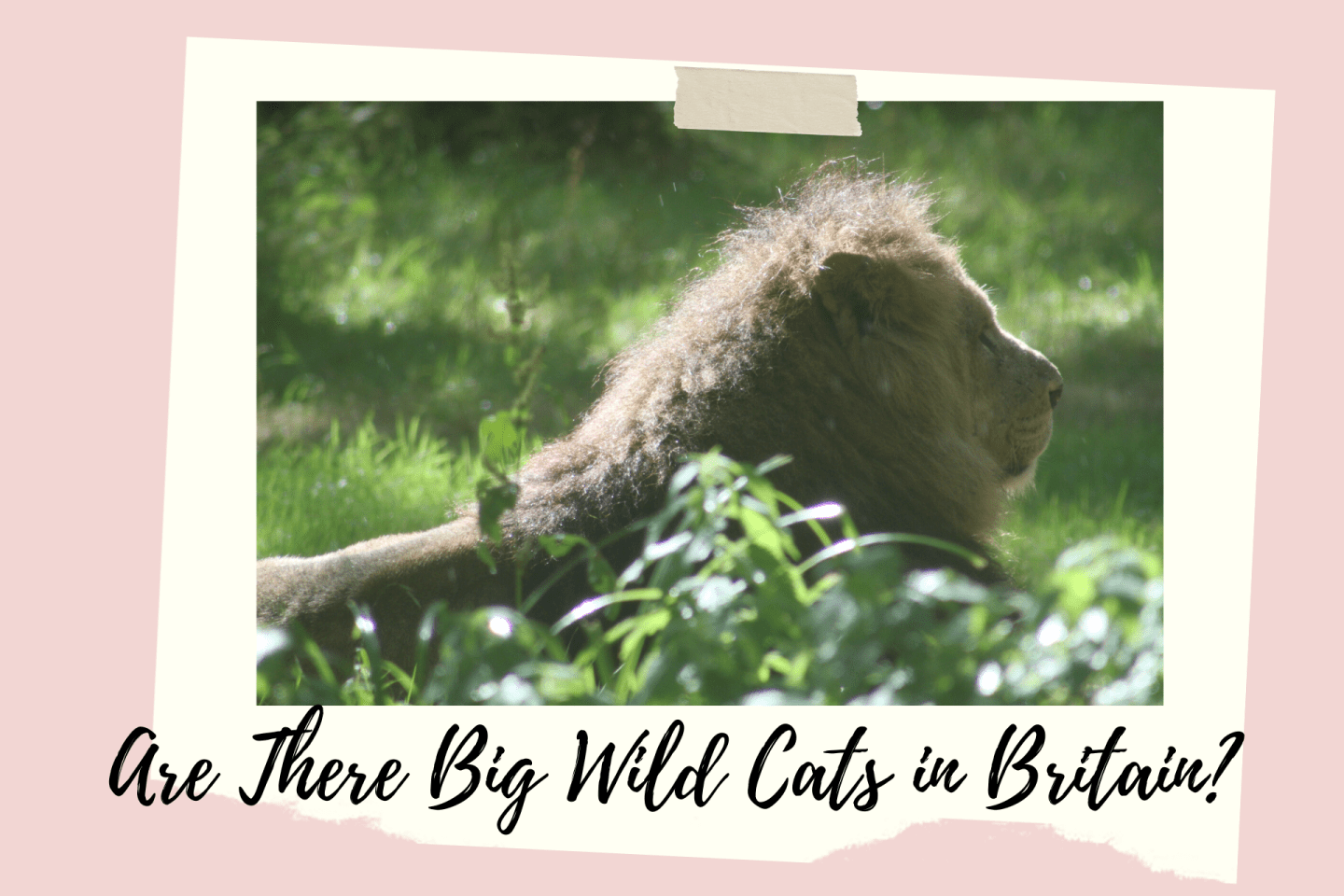 Are There Big Wild Cats in Britain?