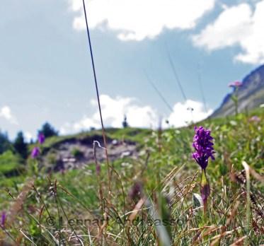 Blommor i Alperna