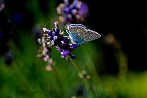 ännu en fjäril på sommaräng