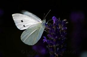 fjäril på sommaräng