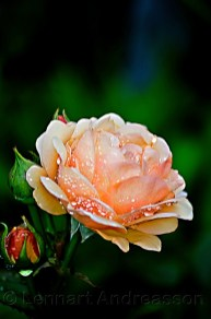 daggfuktig ros