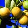 citron bio Sicile