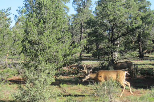 Mule deer grazing in the forest at the top of the Grand Canyon