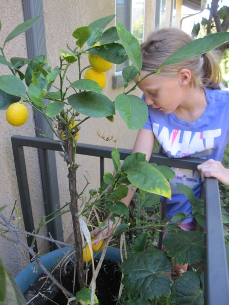 Lily picking lemons