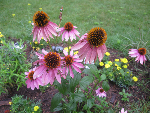 Purple coneflowers in my garden last summer