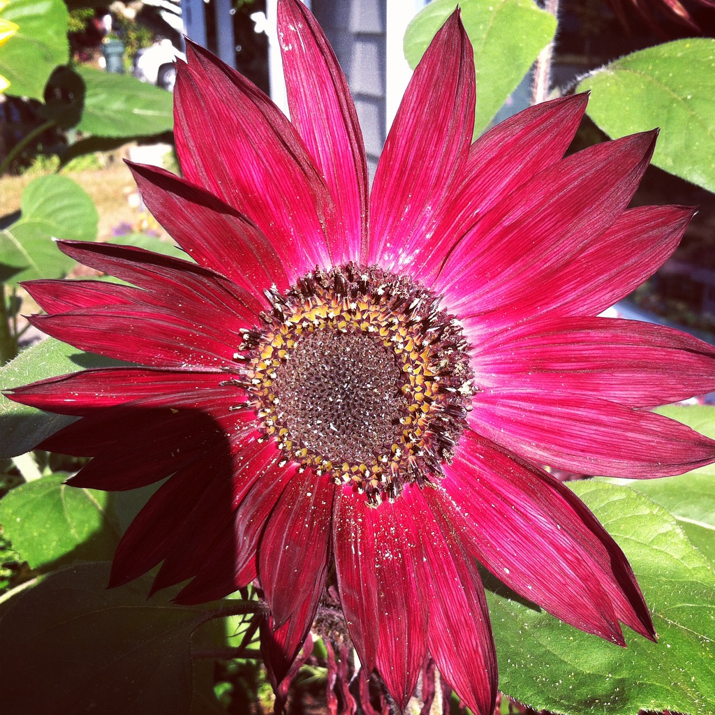 Big Red Sunflower