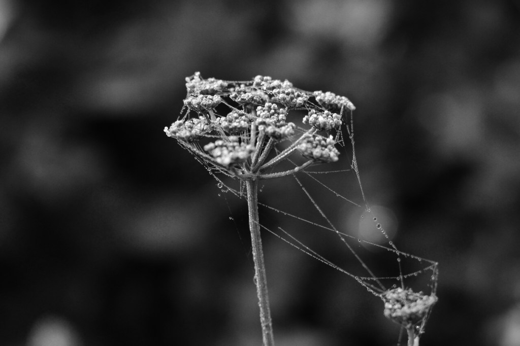 Cobweb on Parsley