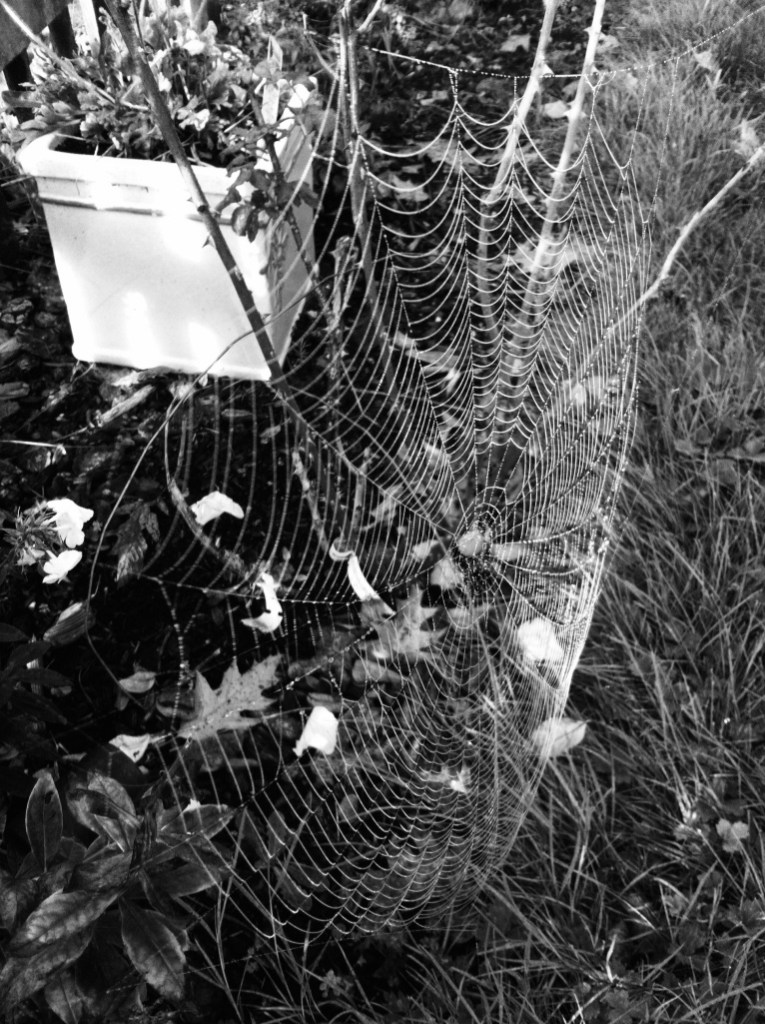Black and white spiderweb