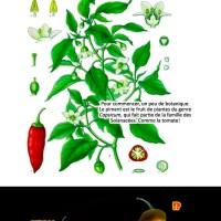 Tout ce que vous avez toujours voulu savoir (ou pas) sur le piment !