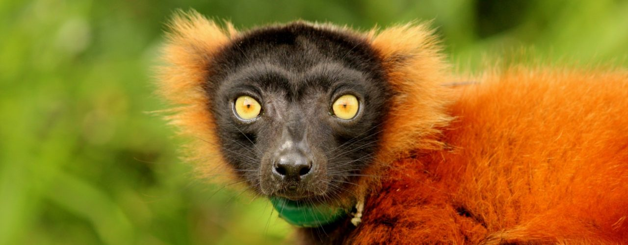 Image result for lemur