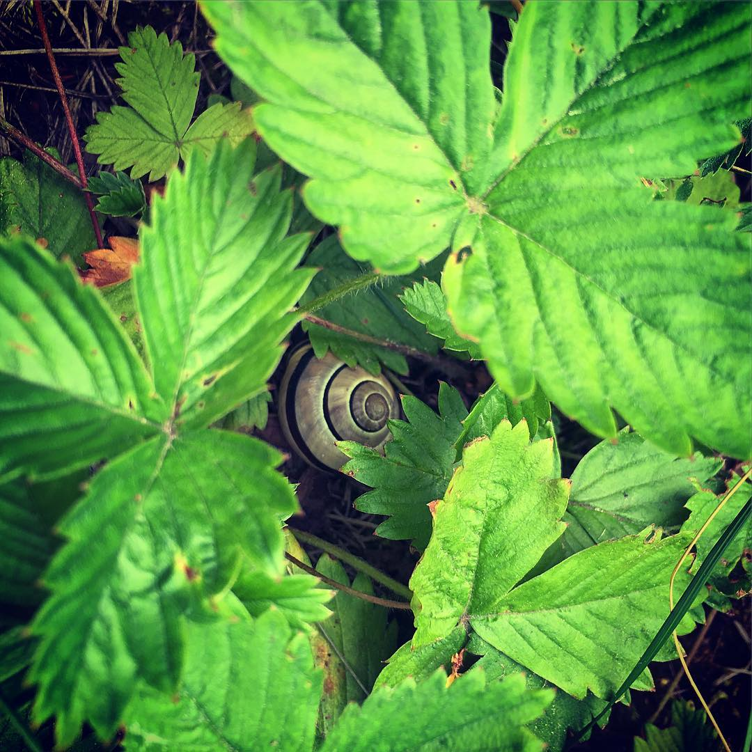 snail taking a nap under the strawberry leaves