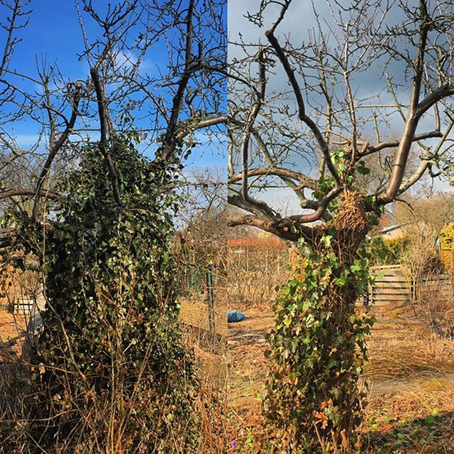 Before and after. We can see the plum tree better now.