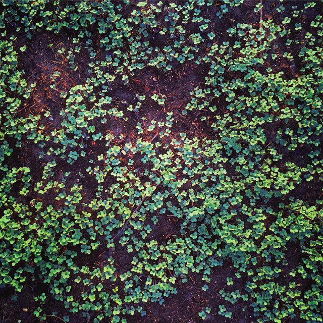 mustard cover crop growing