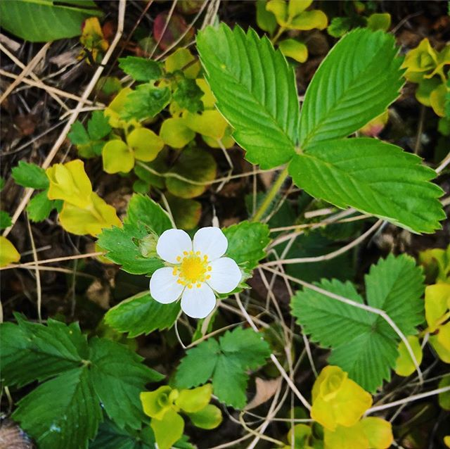 Wild strawberries and other ground covers