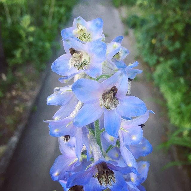 June blossoms keeping with the blue pallet #larkspur