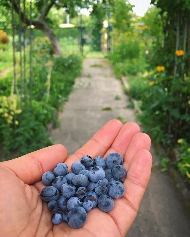 Blueberry harvest from our dwarf bush