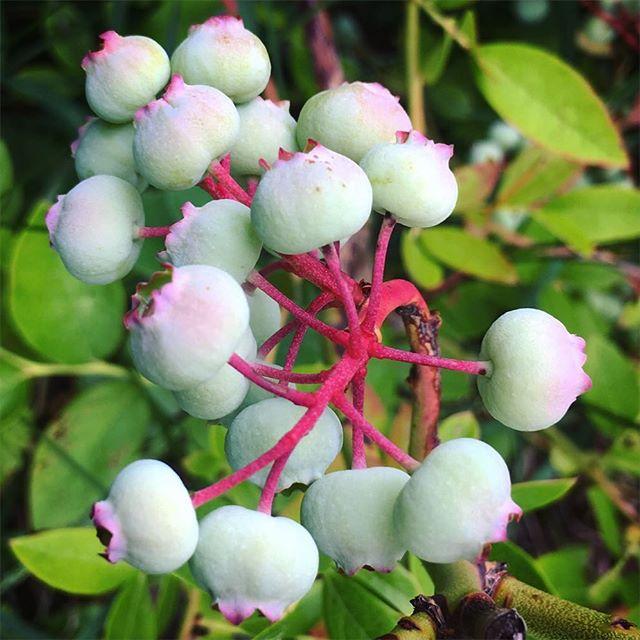 Blueberries slowly getting ripe