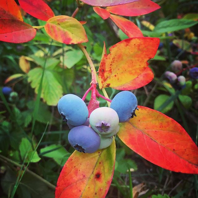 The berries are just starting to ripen and the leaves are already turning red