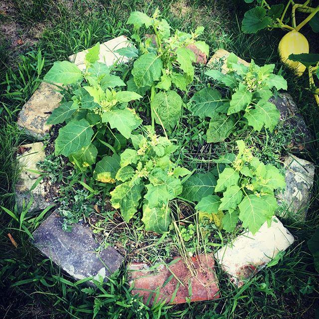 Eggplant patch #cannibaltomato