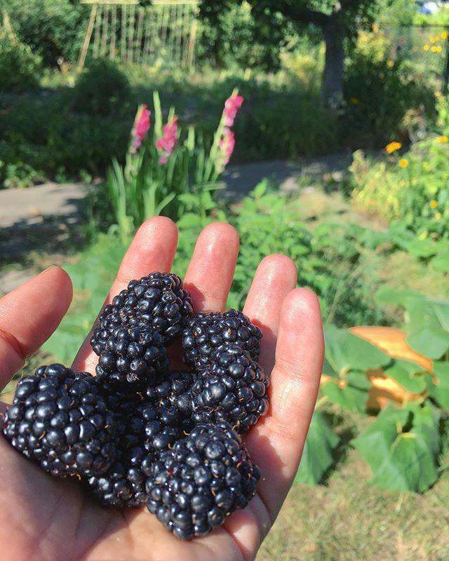 Big juicy blackberries ripening