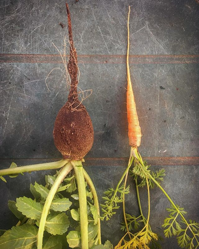 Baby carrot and black radish harvest