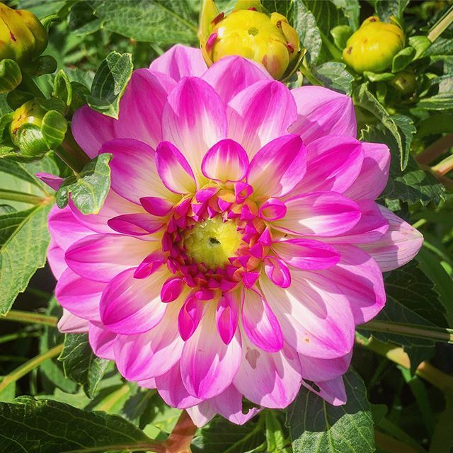New dahlia. The garden now has 3 of them. They need to be brought inside for the winter so we keep them in pots.