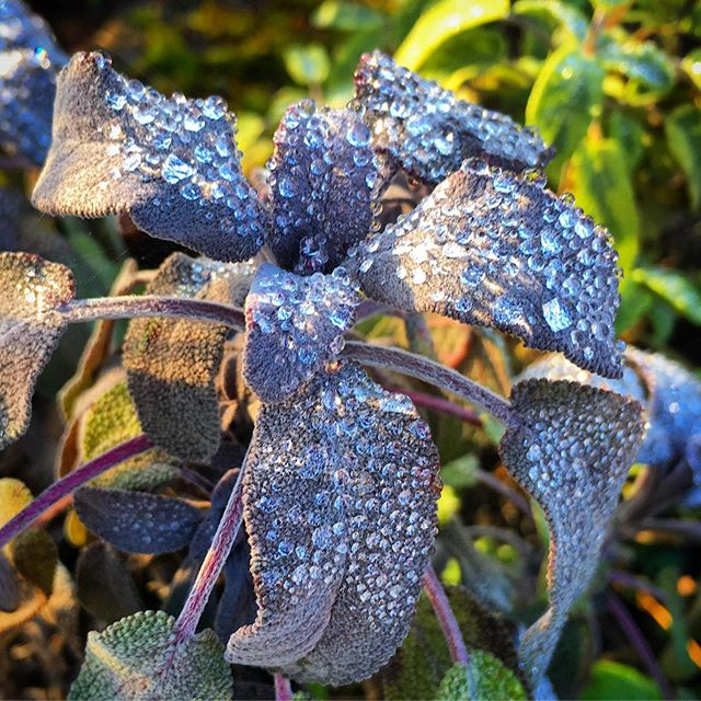 Dewdrops on sage