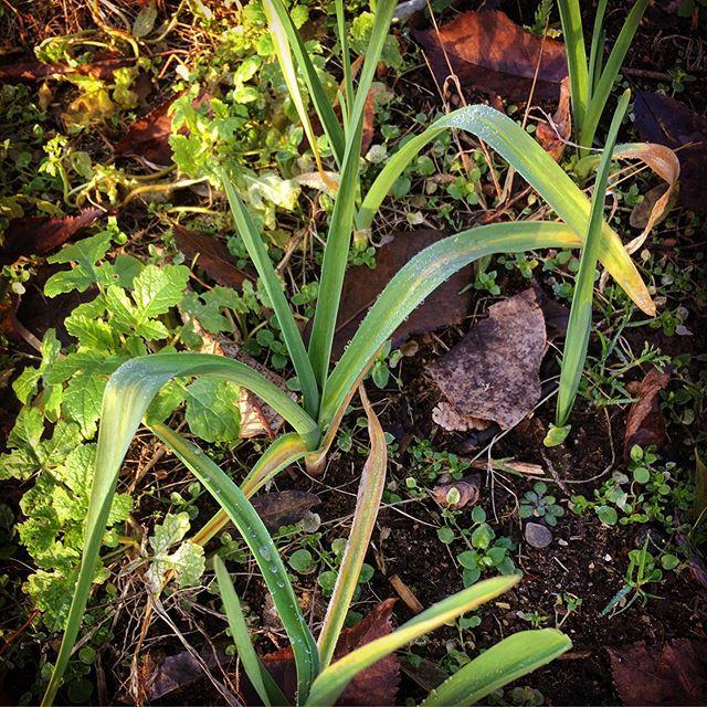 Still harvesting mustard and garlic leaves. Yum.