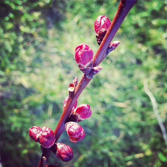 Apricot flower buds. We had to trim a few branches and brought some twigs home to keep in a vase.