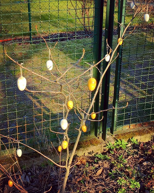 Happy Easter! Says our minimalistically decorated witchhazel by the fence.