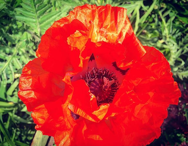 First poppy of the season