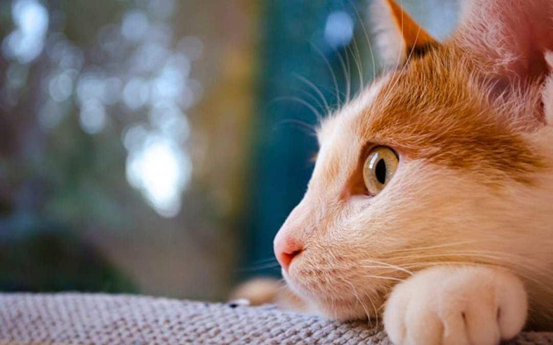 Oido de gato