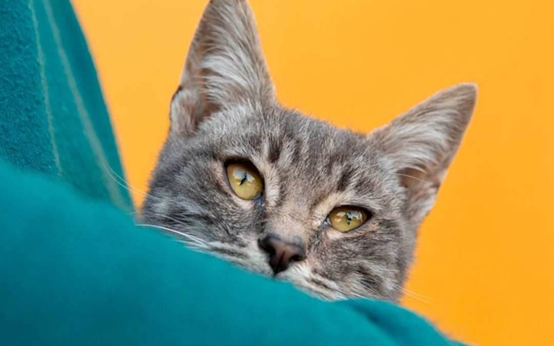 Dentadura gato cuidados lenda