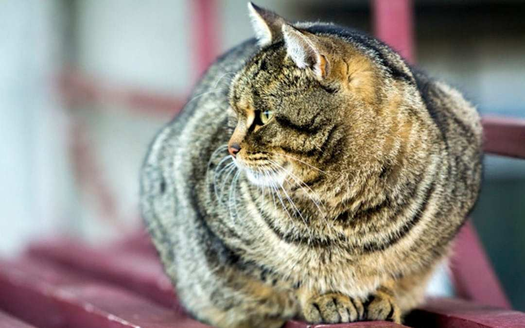 Gato gordo lenda