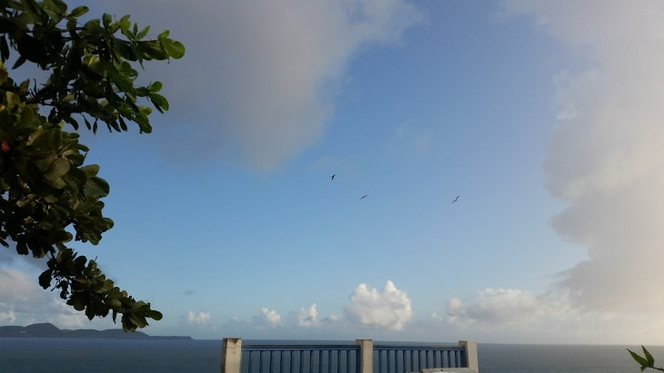 Pelicans or frigate birds