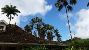 Bismarck palm trees