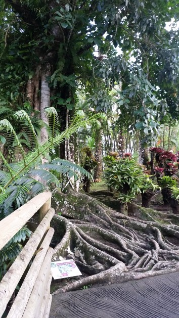 the roots of a figuier etrangleur / strangler fig