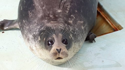 Kaspische zeehond na 3 jaar op Rode Lijst