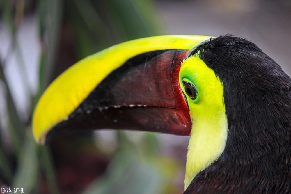 Swainson-Tukan in Costa Rica