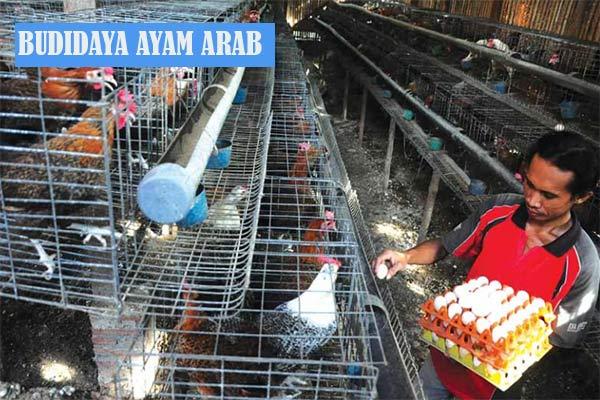 Budidaya Telur Ayam Arab