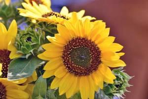 Bunga Matahari (Helianthus annuus)