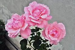 Bunga Mawar (Rose)
