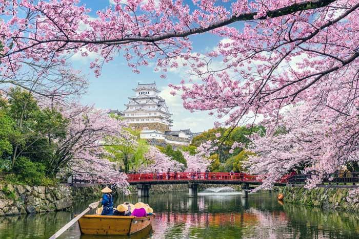 Bunga Sakura (Prunus Jamasakura)