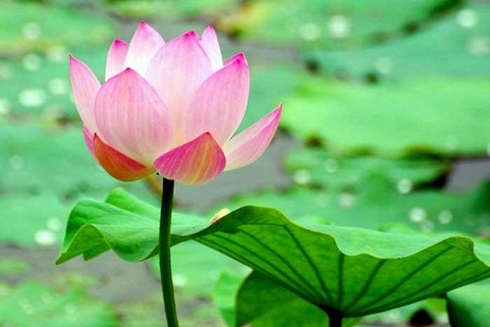 Bunga Seroja (Nelumbo)