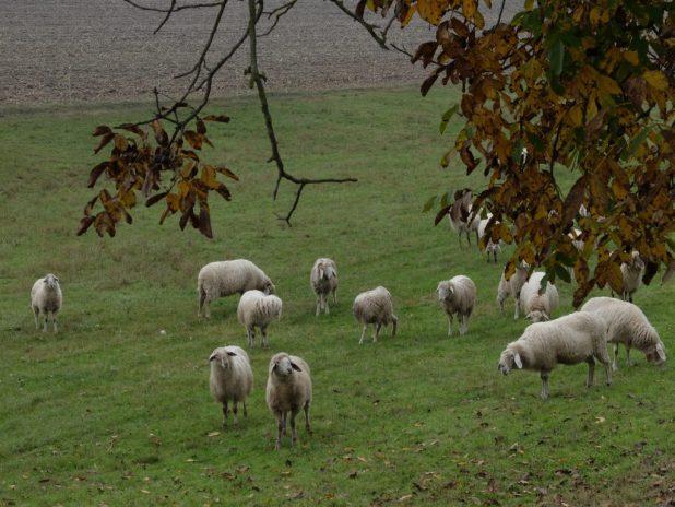 Qualche gregge di pecore