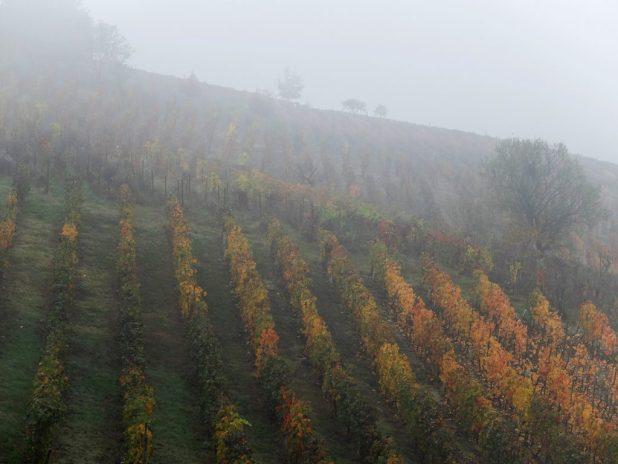 Vigna colline Monferrato