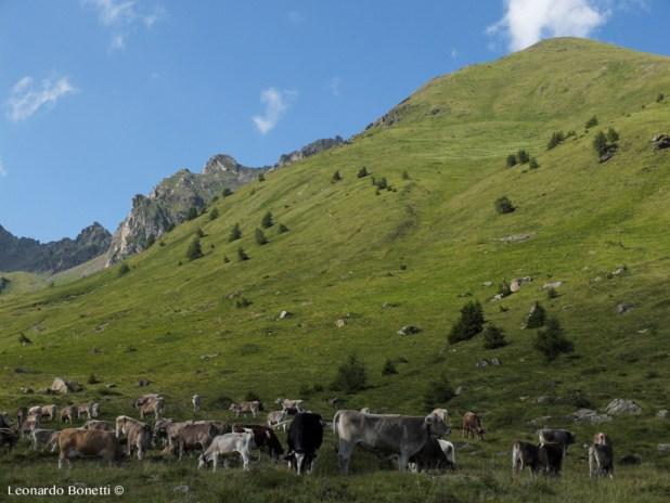 Mucche al pascolo al Passo del Tonale